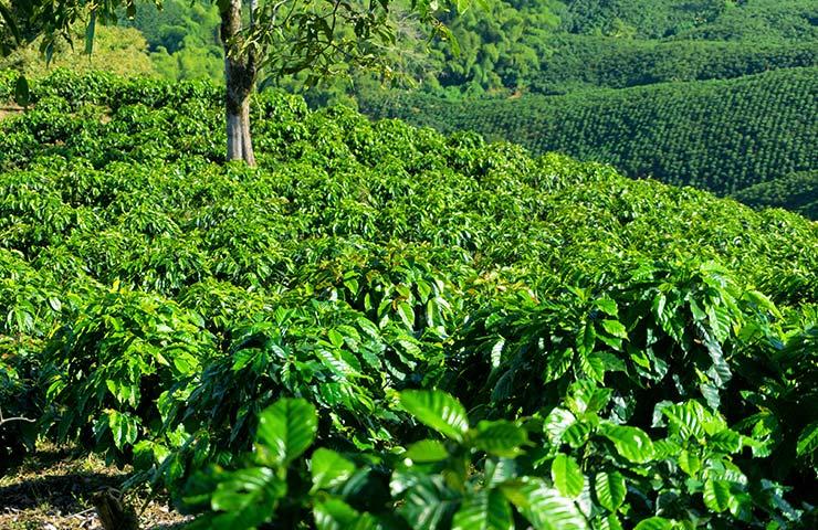 uprawa kawy z kolumbii