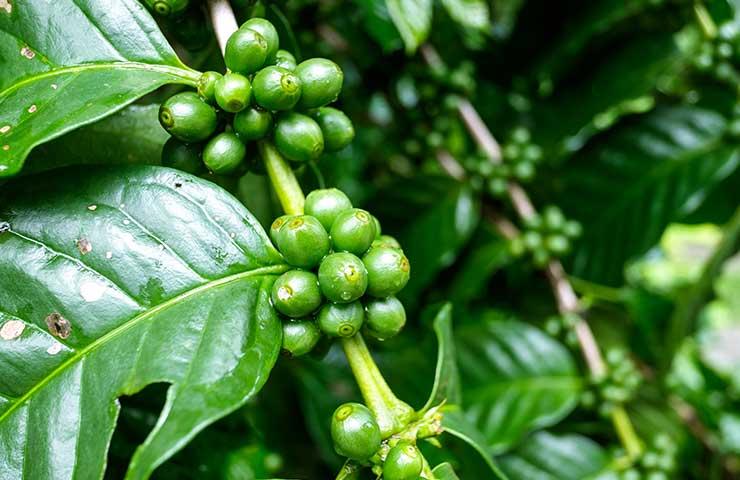 uprawa kawy